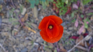 native poppy of Spain